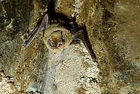 Schreibers' vleermuis (Meniopterus schreibersi)