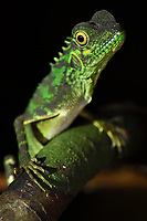 """Rainforest lizard, Batenta Island, Raja Ampat, Western Papua, Indonesian controlled New Guinea, on then Science et Images """"Expedition Papua, in the footsteps of Wallace"""", by Iris Foundation"""