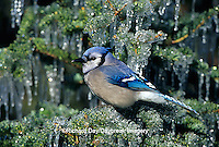 01288-041.06 Blue Jay (Cyanocitta cristata) in icy fir tree  Marion Co.  IL