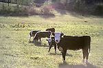 Cattle grazing in pasture in early morning