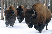 Plains Bison breading bulls on the Buck Lake, Alberta ranch, of Louie Banack on April 15, 2004..John Ulan/The Globe and Mail
