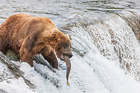 Brown bears fish for red salmon at the falls of the Brooks River, Katmai National Park, southwest, Alaska.