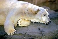 Animais. mamiferos. Urso polar (Ursus maritimus). Foto de Luciana Whitaker.