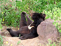 Bear relaxing leaning on a rock and stretching the leg