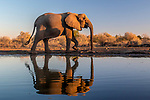 Botswana, Central District, African bush elephant (Loxodonta africana)
