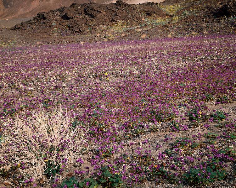 Sunrise light on a field of Phacelia (Phacelia calthifolia) along Artists Drive; Death Valley National Park , CA