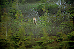 Red Fox amidst a forest in Denali National Park.