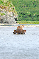 A mother and two baby brown bears cross a tidal lagoon in Alaska's McNeil River State Game Sanctuary.