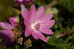 Malvaceae - Malvengewächse