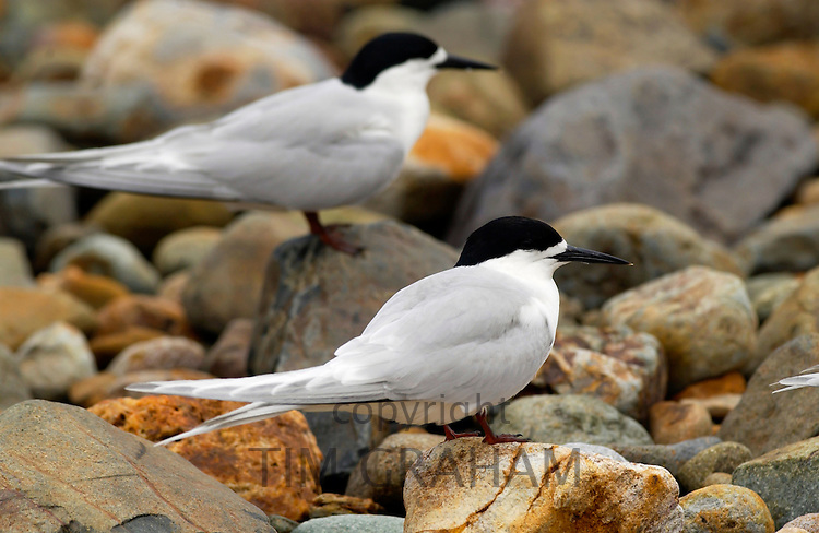 White-fronted terns (Sterna Striata)  in North Island, New Zealand