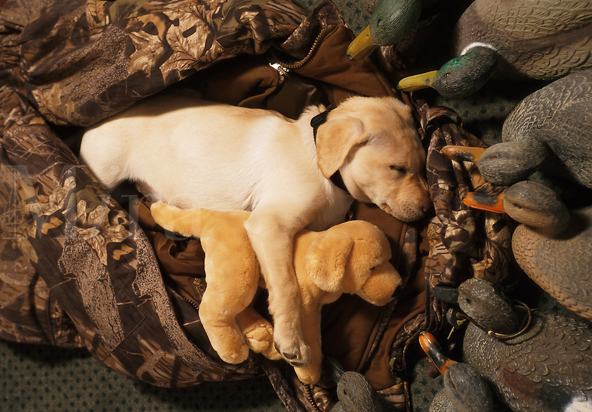 Yellow lab puppy sleeping with syffed animal dog and duck decoys.