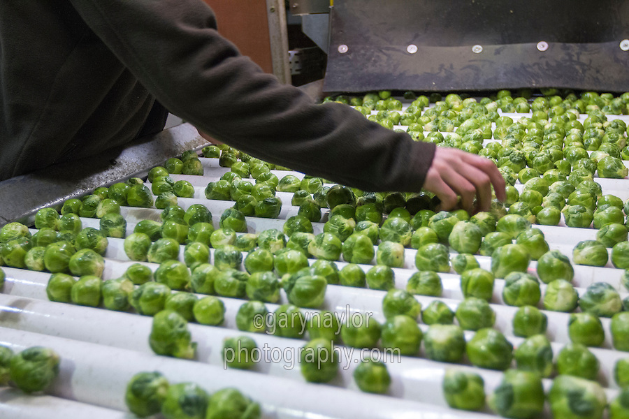 Inspecting brussles sprouts prior to netting - December, Lincolnshire