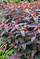 Lysimachia ciliata 'Firecracker' purple dark foliage leaves