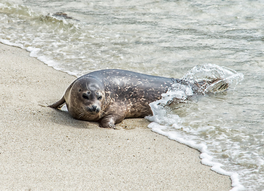 A harbor seal emerges from the ocean onto the beach at 17 Mile Drive, Pebble Beach