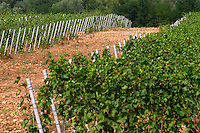 Vines in the vineyard. Pattern with white wooden posts supporting the wires. Vranac grape variety. Typical red reddish clay sand sandy soil mixed with pebbles rocks stones in varying amount. Vineyard on the plain near Mostar city. Hercegovina Vino, Mostar. Federation Bosne i Hercegovine. Bosnia Herzegovina, Europe.