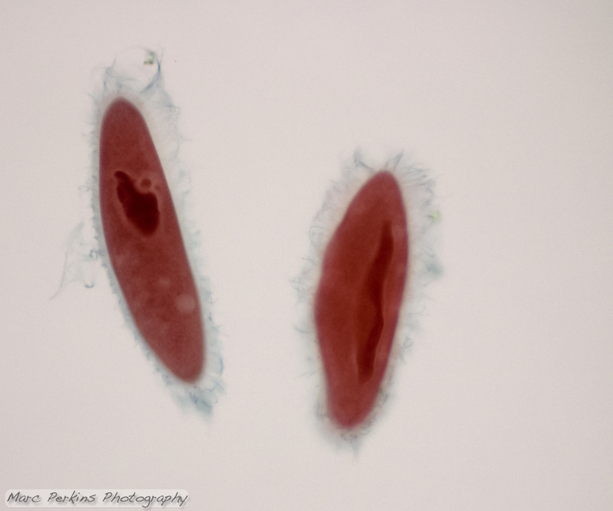 Two Paramecium seen at 200x magnification.  Cilia, the macronucleus, the micronucleus, and vacuoles are all visible.