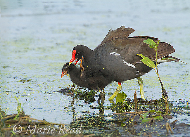 Common Gallinules (Gallinula chloropus), aggressive behavior, adult biting its downy chick, Montezuma National Wildlife Refuge, New York, USA