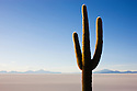 Bolivia, Altiplano, Salar de Uyuni, rare cactus (Echinopsis tarijensis) on Isla de Pesado (Fish Island)