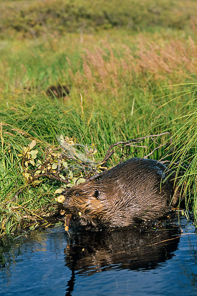 North American Beaver (Castor canadensis) transporting willow limbs
