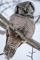 A Northern Hawk Owl (Surnia ulula) in Southcentral Alaska. Photo by James R. Evans