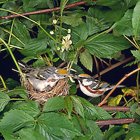 Chestnut-sided Warbler Nest (Dendroica pensylvanica) in blackberry bramble, adults transferring food, Great Smoky Mountains National Park (Tennessee)