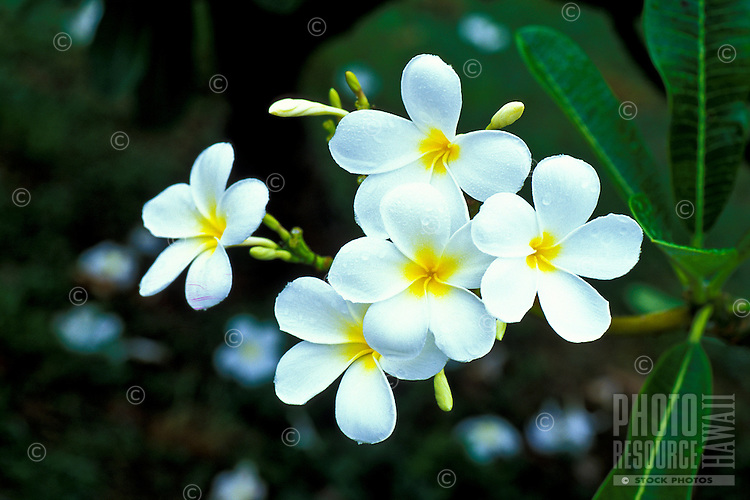 Cluster of bright white and yellow plumeria on Oahu