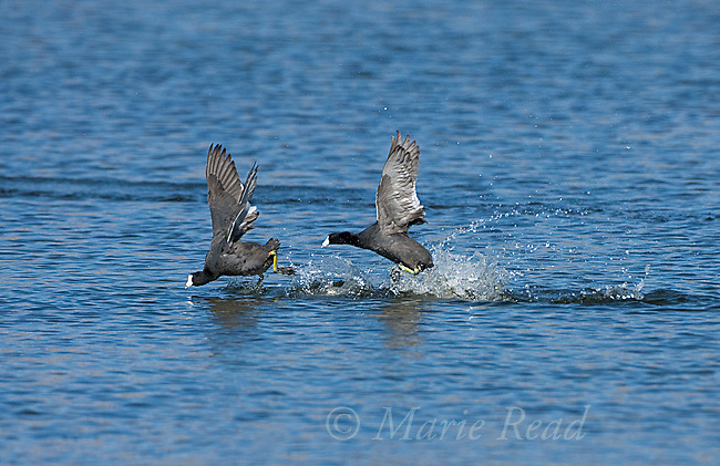 American Coots (Fulica americana), two during aggressive chase, Mono Lake Basin, California, USA