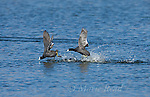 American Coots (Fulica americana), two during aggressive chase, Mono Lake Basin, California, USA