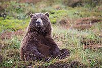 Grizzly bear on the springtime tundra in Denali National park, Alaska.
