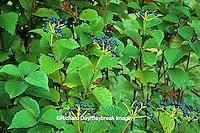 63808-012.14 Arrowwood Viburnum (Viburnum dentatum) with fruit   IL