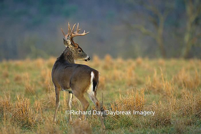 01982-04218  White-tailed Deer (Odocoileus virginianus) 10 - point buck  Great Smoky Mountains NP  TN