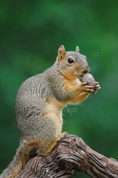 Eastern Fox Squirrel (Sciurus niger), male smelling  pecan nut, Refugio, Coastel Bend, Texas, USA