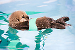 Sea Otter (Enhydra lutris) rescued pup wrapped in fake kelp while floating in holding tank, Monterey Bay Aquarium, Monterey Bay, California