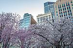 Cherry blossoms on Boston Common, Boston, Massachusetts, USA