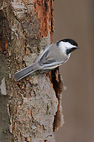 Adult Black-capped Chickadee (Poecile atricapillus) clinging to a tree trunk. Tompkins County, New York. February.