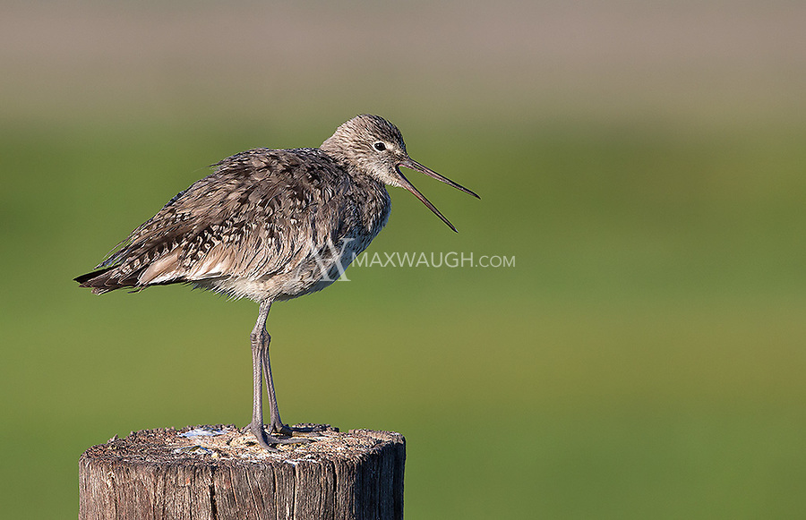 A Willet calls out one morning at Market Lake.