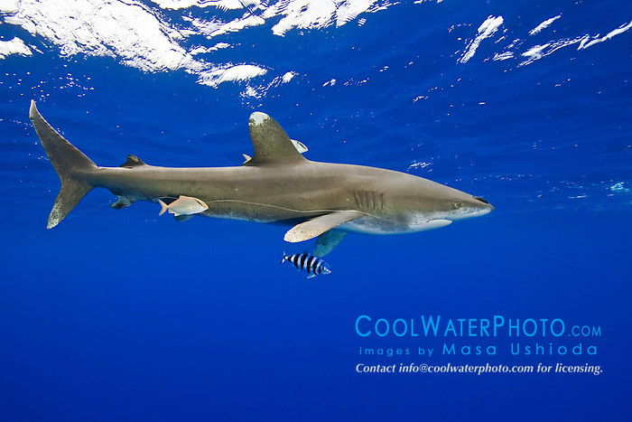 Oceanic Whitetip Shark, Carcharhinus longimanus, trailing a fishing line from its mouth, accompanied by Pilotfish, Naucrates ductor, Remoras, Remora sp., and juvenile Amberjacks, Seriola dumerili, off Kona, Big Island, Hawaii, Pacific Ocean.
