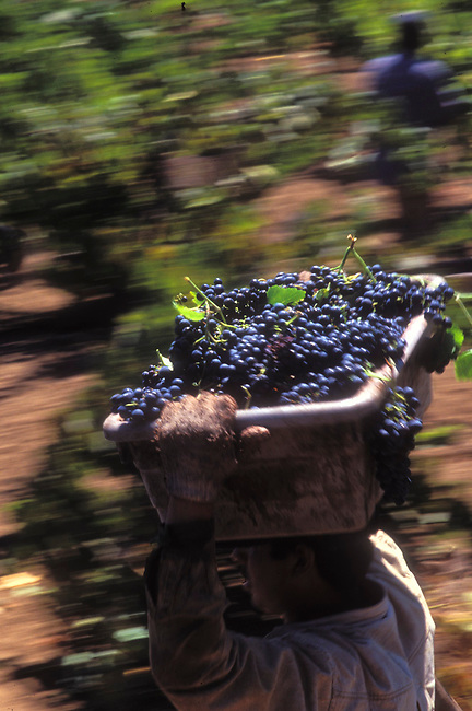 Worker carries cabernet grapes in St.  Helena vineyard