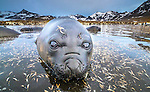 South Georgia Island, St. Andrews Bay, southern elephant seal weaner (Mirounga leonina)