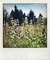 05/08/11 - MONTONCEL - PUY DE DOME - FRANCE - Gentiane sur le Montoncel - Photo Jerome CHABANNE