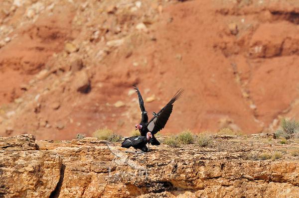 California Condor (Gymnogyps californianus) mating near Grand Canyon National Park, Arizona.