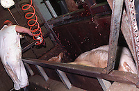 Photos taken inside Centennial Packers, a meat-packing plant in Calgary, Alberta, Canada showing a slaughter house worker using a captive bolt gun in the killing pen in 1989. (© Karen Ducey Photography)