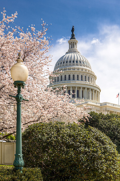 United States Capitol Building Cherry Blossoms Washington DC