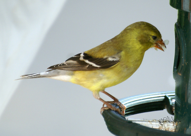 Female yellow finch sitting on a green birdfeeder ring with seed in mouth. Grey and light grey background.