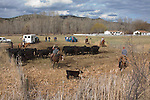 Highway 395, Mount Vernon, Oregon, Pacific Northwest, U.S.A., ranch country, cowboys, calves, calf roundup, spring tagging and inoculations,