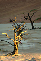 A camelthorn tree at Dead Vlei catches the very last rays of the evening sun, while those behind it, as well as the red dunes, are already in the shade. Some of the tree skeletons at Dead Vlei are over 500 years old.