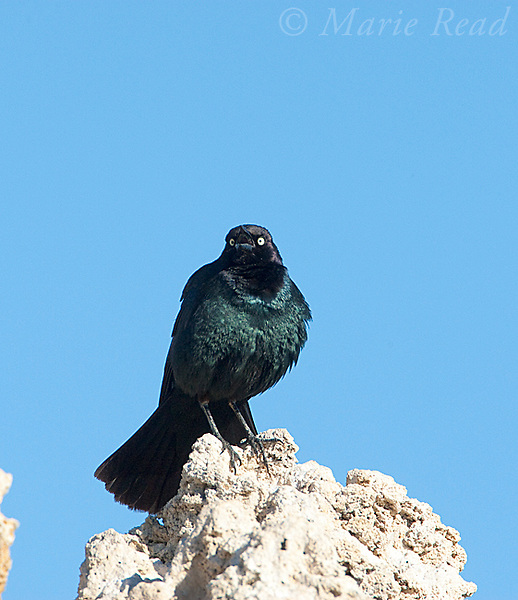 Brewer's Blackbird (Euphagus cyanocephalus), male perched on tufa tower calling, Mono Lake, California,USA