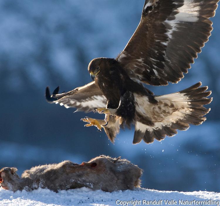 Kongeørn lander på åtsel ---- Golden eagle