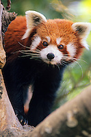 Red Panda or lesser panda (Ailurus fulgens).(Oregon Zoo, Portland Oregon)