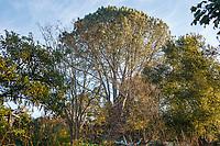 Pinus torreyana, Torrey Pine tree in Nan Sterman Garden
